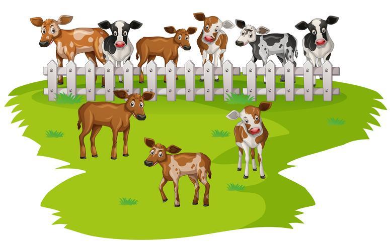 Veel koeien op het erf