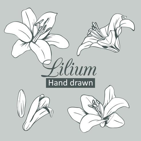 Fije la colección de lilium blanco aislada en fondo gris. Ilustración vectorial