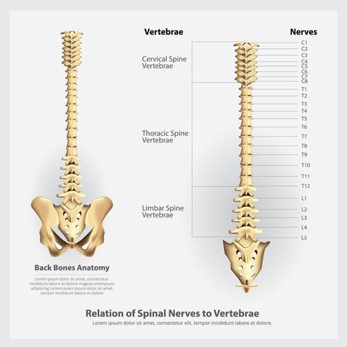 Nervios vertebrales, vértebras, segmentos y raíces, ilustración vectorial