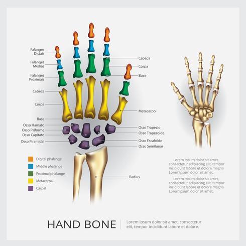 Anatomía humana mano hueso ilustración vectorial vector