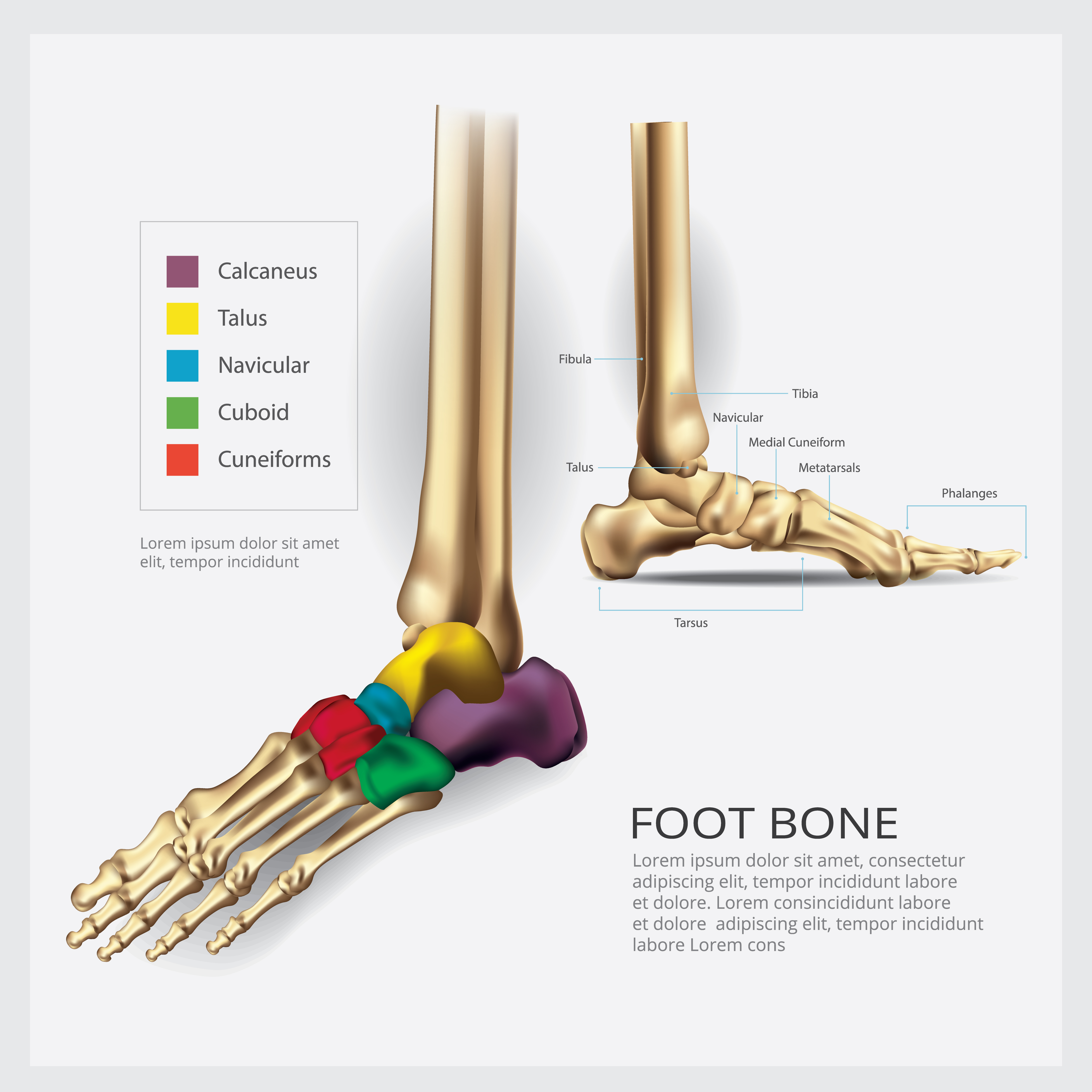 Foot Bone Anatomy Vector Illustration - Download Free ...