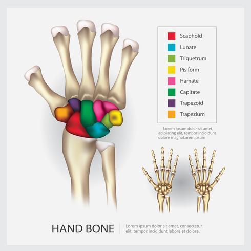 Human Anatomy Hand Bone Vector Illustration