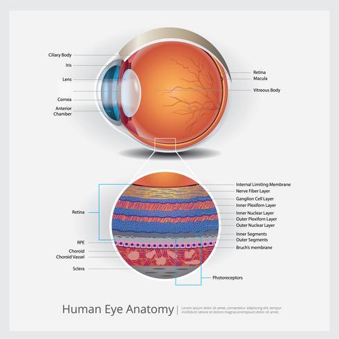 Anatomie-Vektor-Illustration des menschlichen Auges