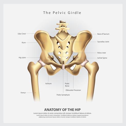 Der Beckengürtel der menschlichen Hüftknochen-Anatomie-Vektor-Illustration
