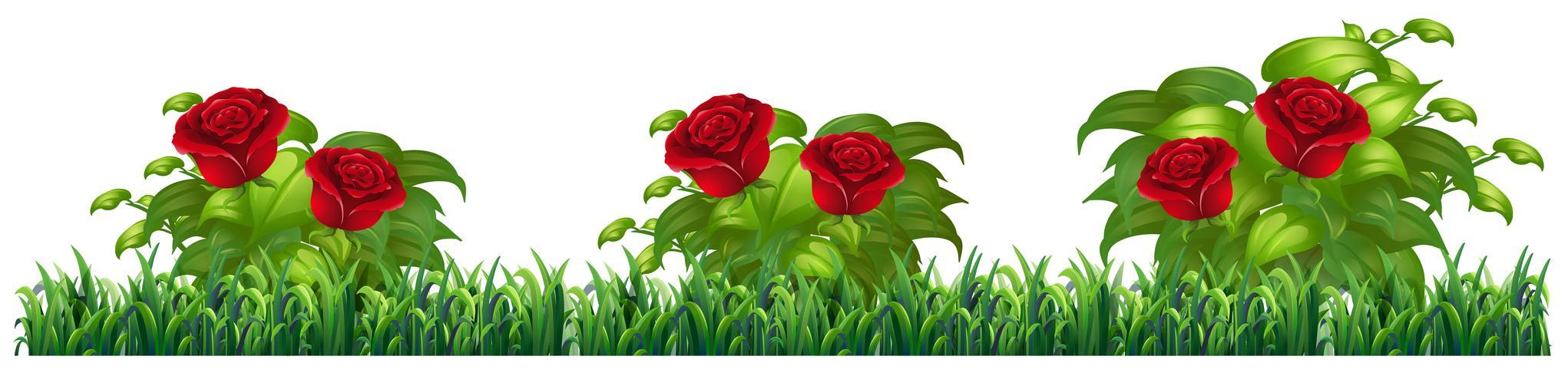 Planta de rosa aislada para decorar. vector