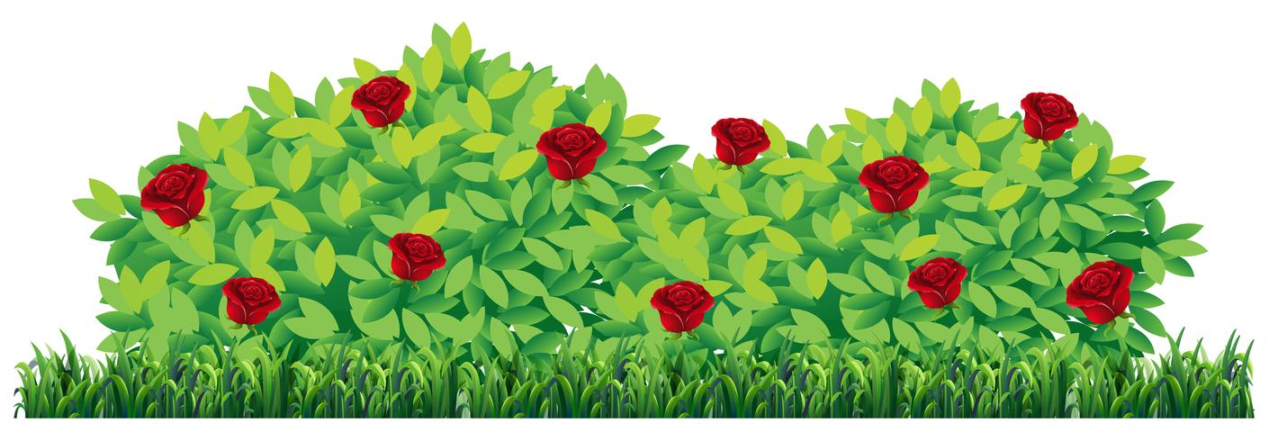 Planta color de rosa aislada en el fondo blanco vector