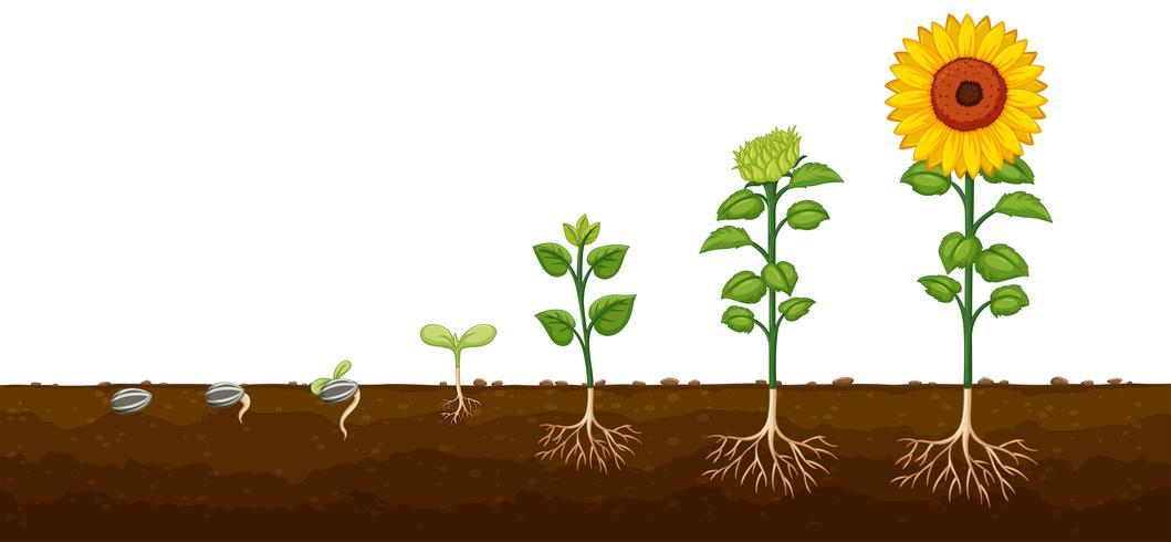Diagrama de progresso do crescimento das plantas