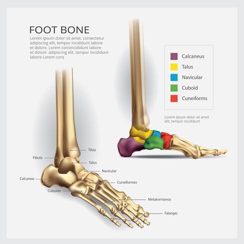 Ilustración de vector de anatomía ósea del pie