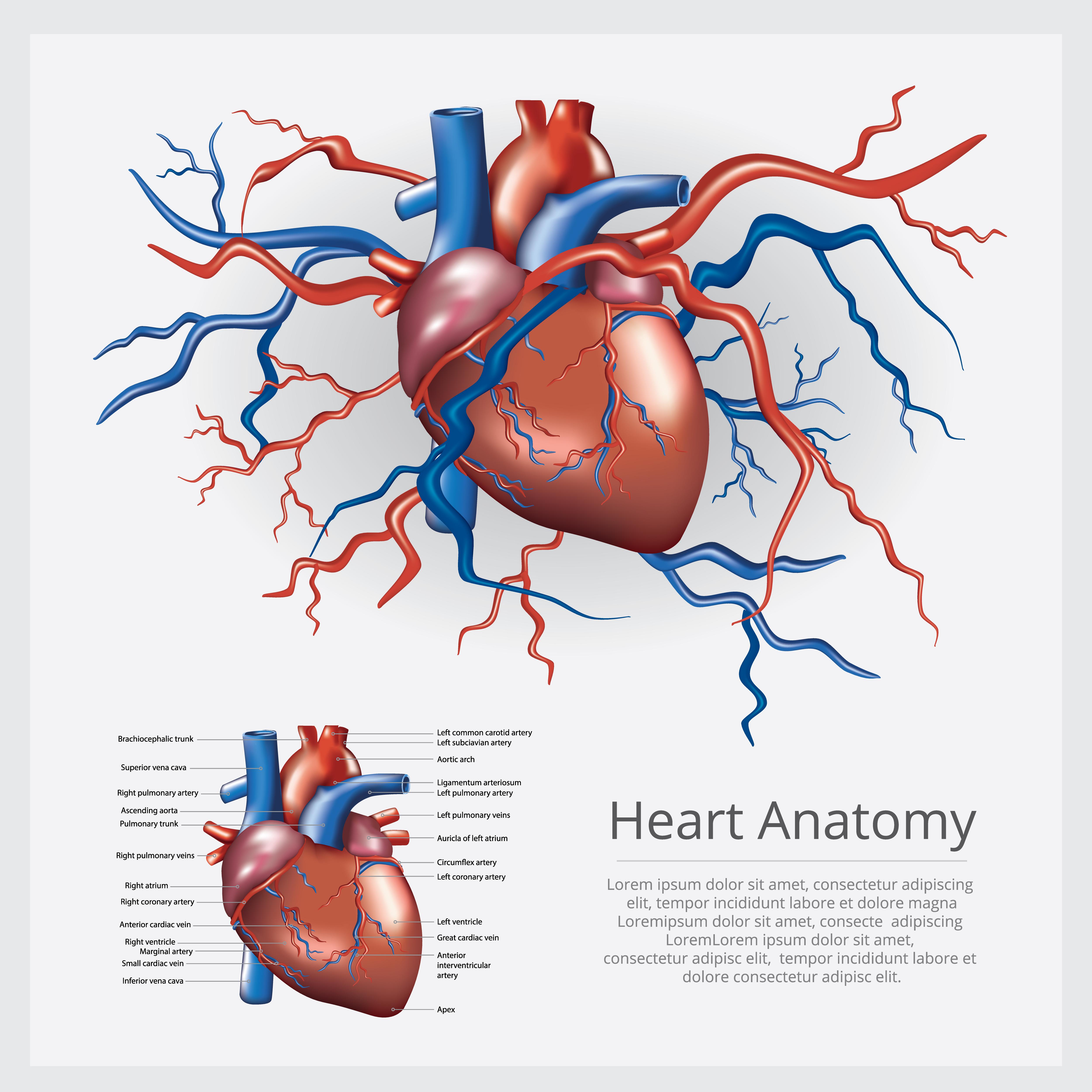 Human Heart Anatomy Vector Illustration - Download Free ...