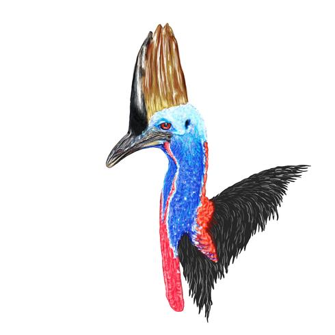 Cassowary vector drawing isolated against white background.