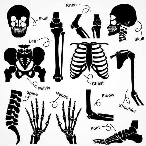Collezione Human Skeleton vettore