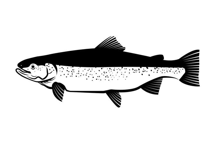 salmon fish drawing illustration vector.