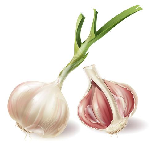 Vector realistic sprouted head of garlic and half