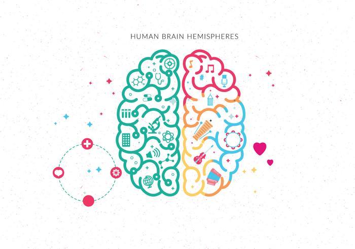 Vecteur, hémisphères, cerveau humain