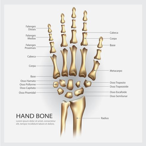 Hand Bone Anatomy with Detail Vector Illustration