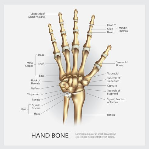 Hueso de la mano con ilustración vectorial de detalle