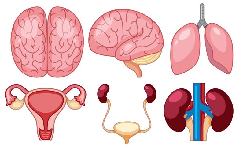 Un conjunto de órganos humanos