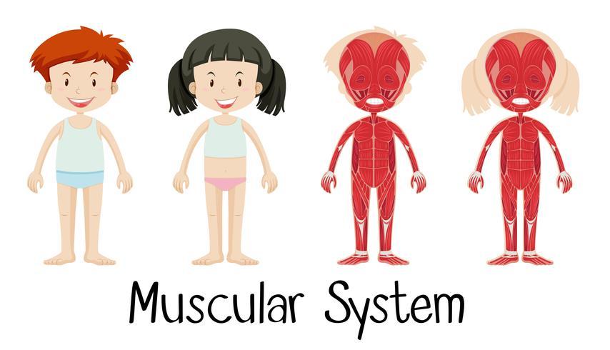Muskelsystem von Jungen und Mädchen