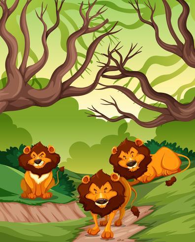 Lions in nature scene