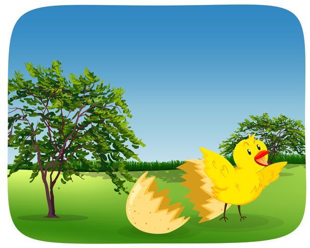 Chick ovo de incubação na natureza