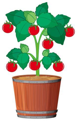 A tomato plant in the pot