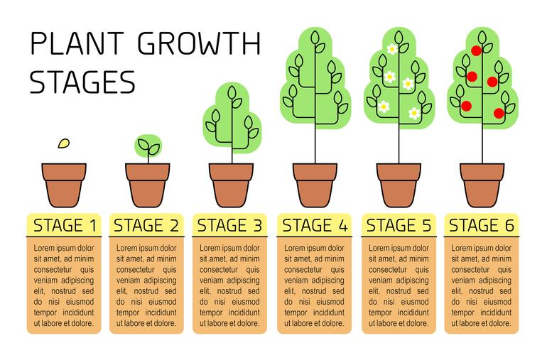 Plant growth stages colorful infographics. Line art icons. Planting instruction template. Linear style illustration isolated on white. Planting fruits, vegetables process.