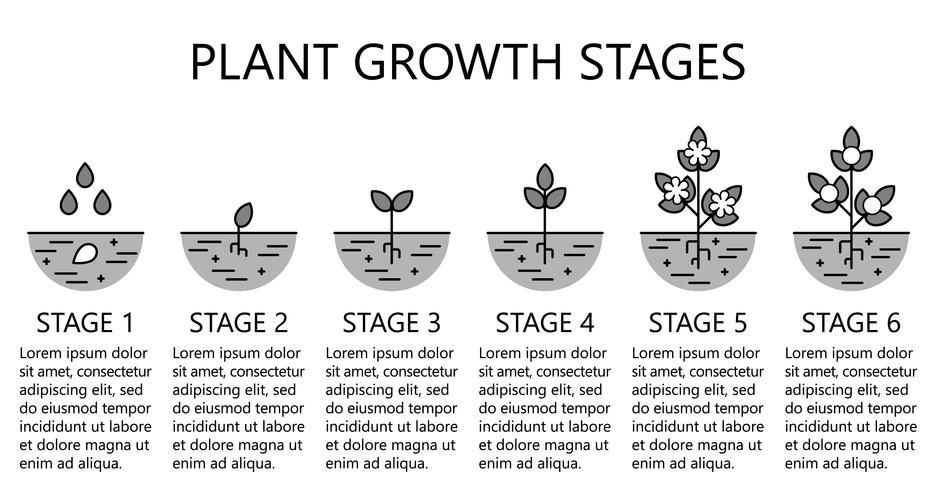 Plantengroeifasen infographics. Monochrome lijn kunst pictogrammen. Aanplant instructiesjabloon. Lineaire stijlillustratie die op wit wordt geïsoleerd. Groenten planten, groenten verwerken. Platte ontwerpstijl.