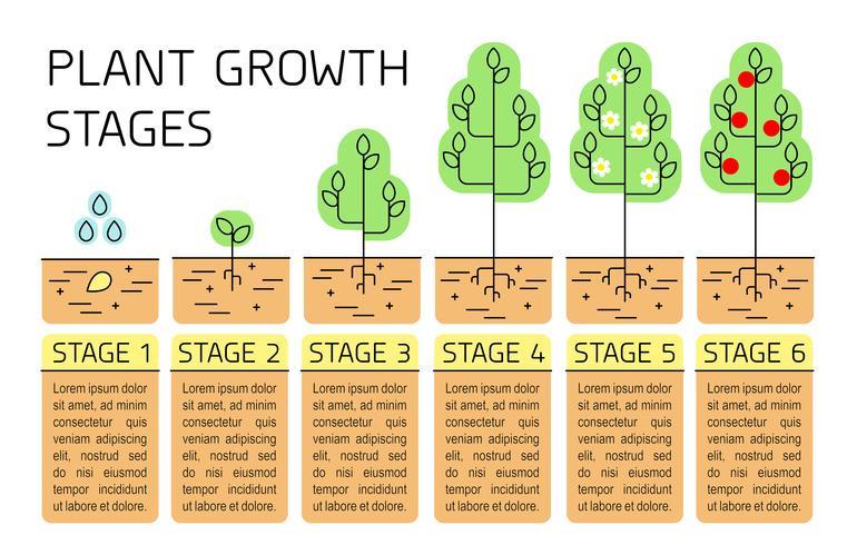 Infografía de las etapas de crecimiento de los árboles. Iconos de la línea de arte. Plantilla de instrucciones de siembra. Ilustración de estilo lineal aislado en blanco. Proceso de siembra de frutos. Estilo de diseño plano. vector