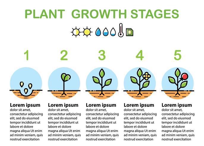 Estágios de crescimento vegetal infográficos. Ícones de arte de linha. Design plano.
