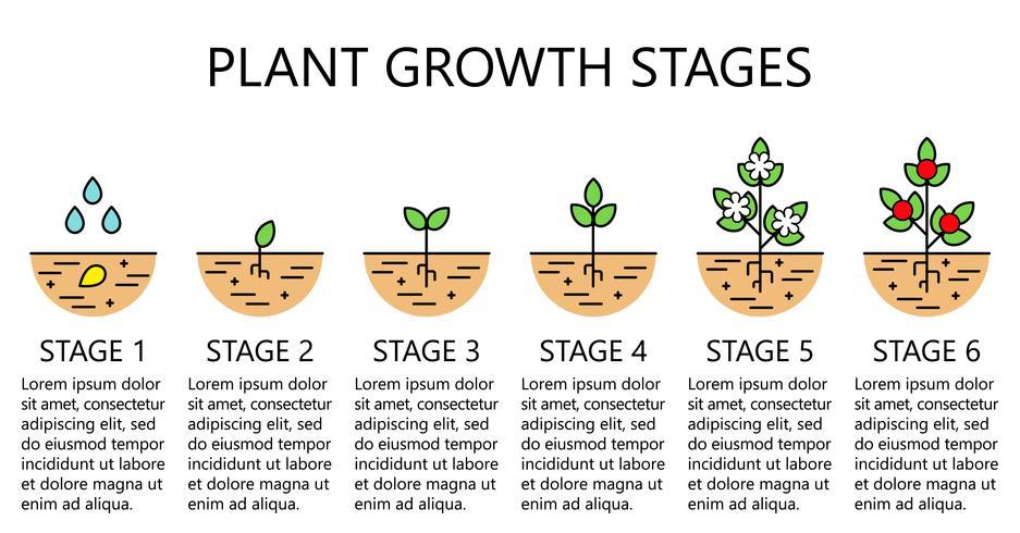 Infografía de las etapas de crecimiento de las plantas. Iconos de la línea de arte. Plantilla de instrucciones de siembra. Ilustración de estilo lineal aislado en blanco. Plantación de frutas, proceso de hortalizas. Estilo de diseño plano. vector