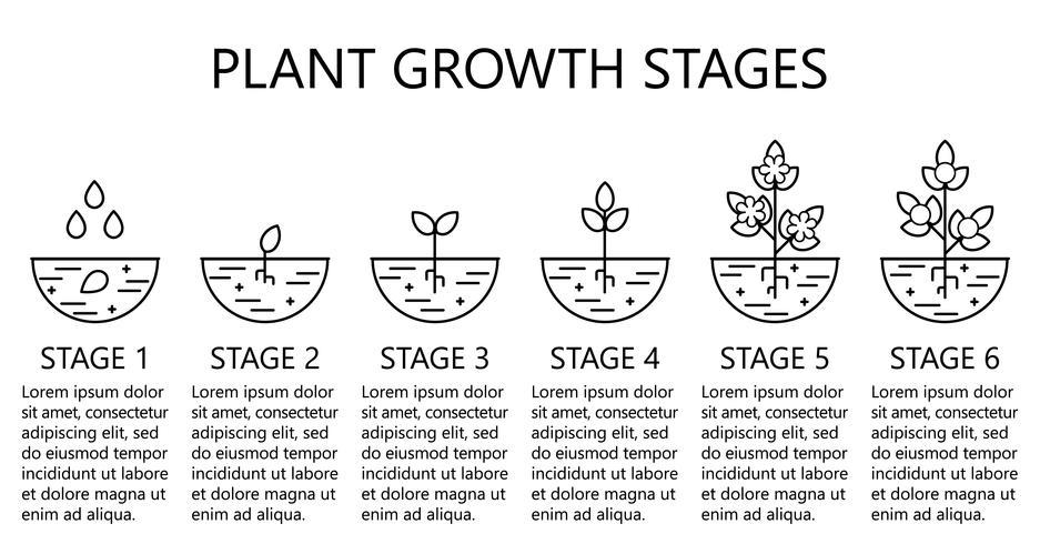 Infographics di fasi di crescita delle piante. Icone di arte di linea. Modello di istruzione di impianto. Illustrazione di stile lineare isolato su bianco. Piantare frutta, processo di verdure. vettore