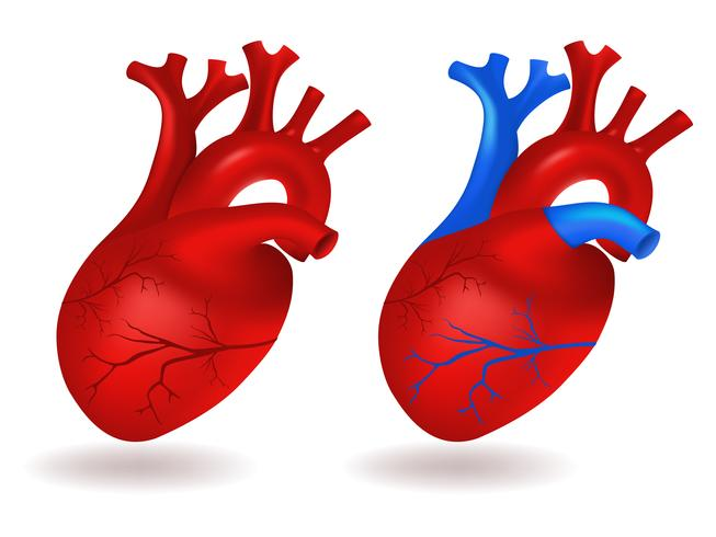 Modelo de corazon humano vector