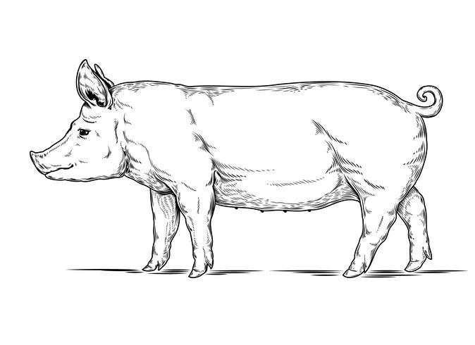 Illustrazione vettoriale di un maiale