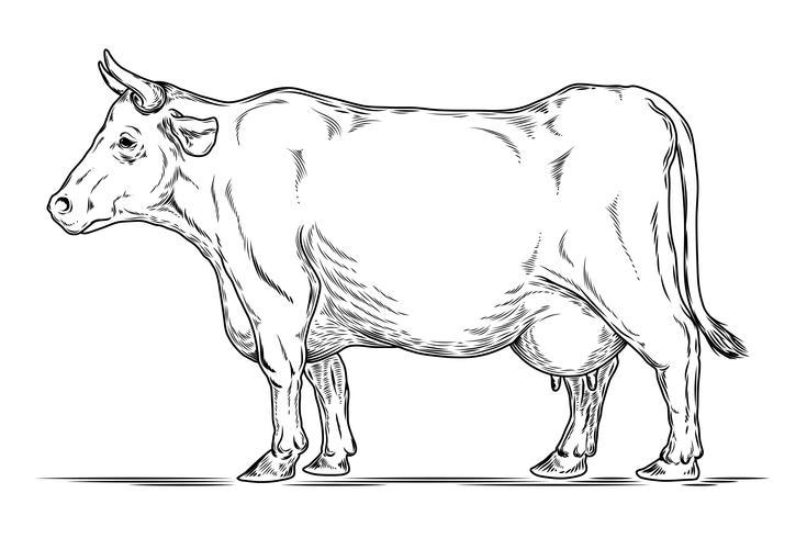 Vector retro illustratie van een koe.