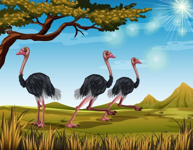 Tres avestruces corriendo en el campo