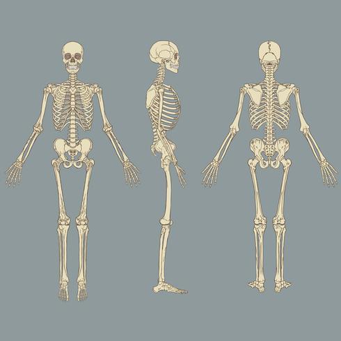 Menselijk skelet grafiek Vector
