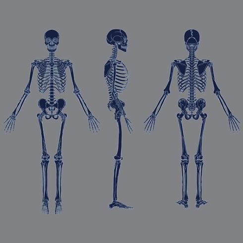 Negativo esqueleto humano gráfico vector de color azul