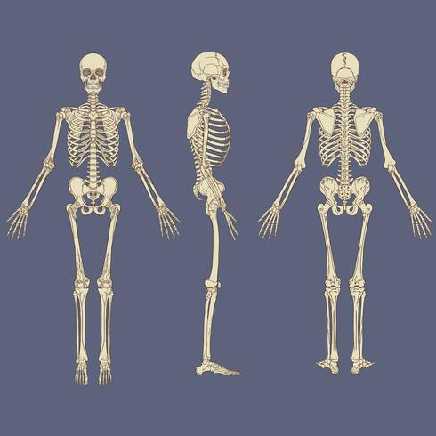 Menselijke skelet grafiek vector