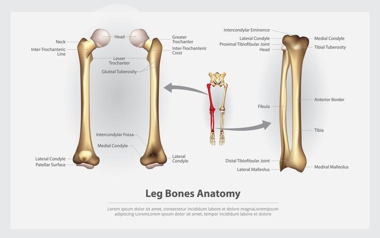 Human Anatomy Leg Bones with Detail Vector Illustration