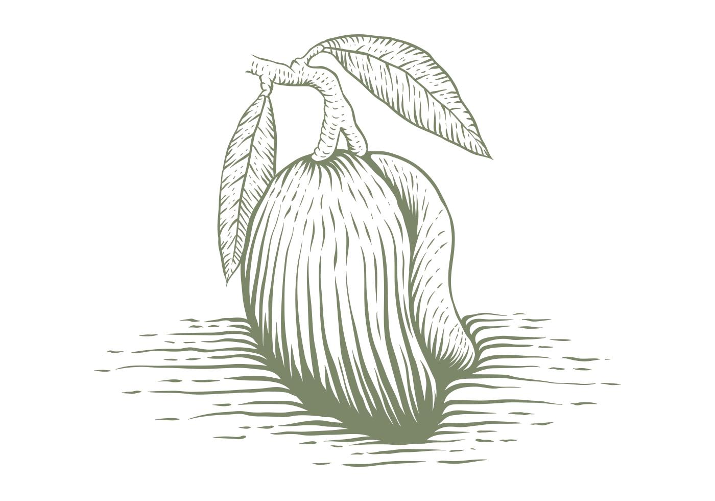 Mango Sketch Free Vector Art 33 Free Downloads
