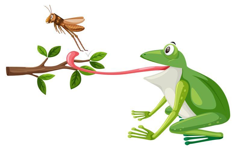 Una rana intenta comer saltamontes