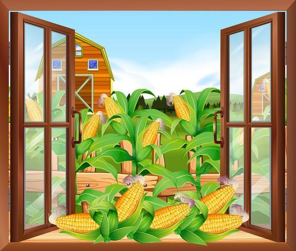 Vista do campo de milho fora da janela