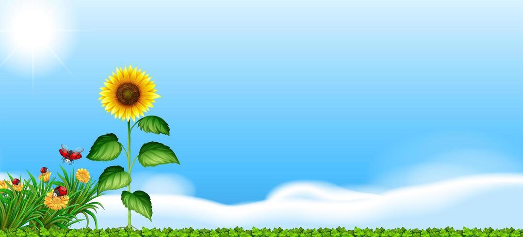 Zonnebloem in een veld