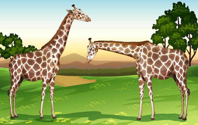 Due giraffe negli alberi del campo