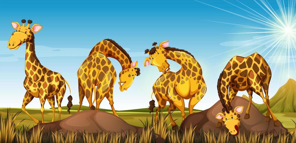 Cuatro jirafas en un campo vector