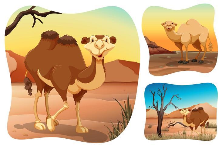 Kamele in den trockenen Wüstenszenen