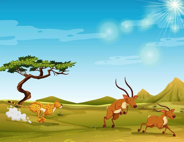 Cheetah jagar hjortar i savannen