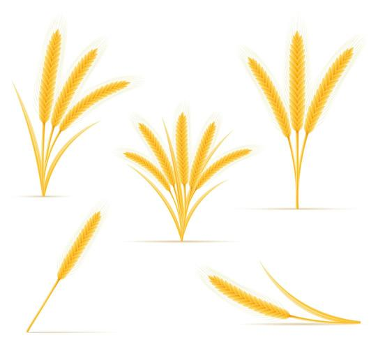 yellow ears of ripe wheat spikelet vector illustration