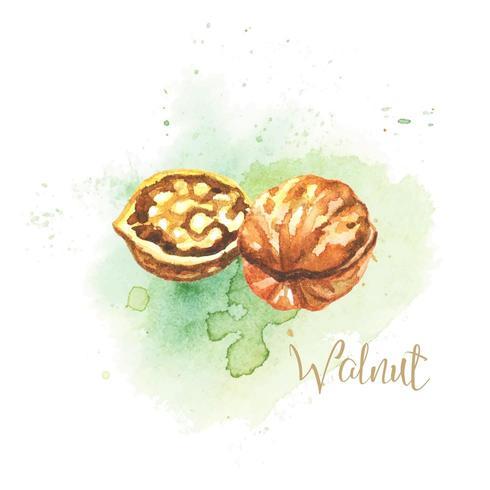 Walnut Watercolor Illustration
