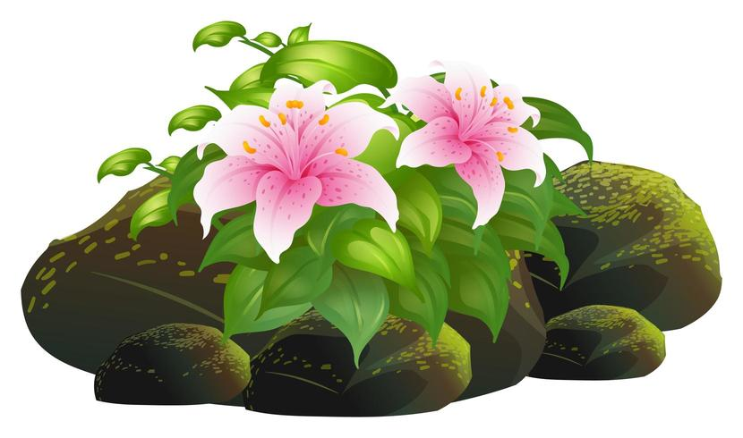 Pink lily flowers and rocks on white background